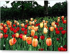 Tulip Festival  Acrylic Print by Zinvolle Art
