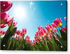 Tulip Field From Below Acrylic Print by Borchee