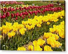 Tulip Field Acrylic Print by Nur Roy