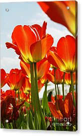 Acrylic Print featuring the photograph Tulip Field 1 by Rudi Prott
