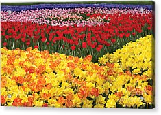 Acrylic Print featuring the digital art Tulip Field by Tim Gilliland
