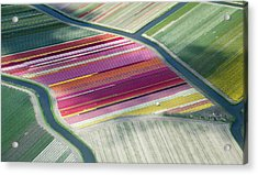 Tulip Fields, Aerial View, South Acrylic Print by Frans Sellies