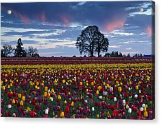Tulip Field's Last Colors Acrylic Print by Wes and Dotty Weber