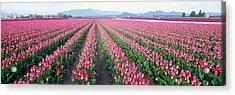 Tulip Fields, Skagit County, Washington Acrylic Print by Panoramic Images