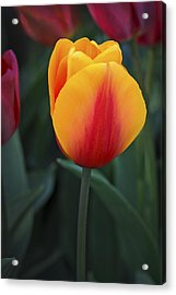 Tulip Flame Acrylic Print by David Lunde