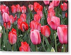 Tulip Flower Art05 Acrylic Print