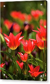 Tulip Flowers In Bloom, Niagara Falls Acrylic Print