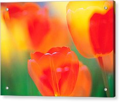 Tulip Flowers Acrylic Print by Panoramic Images