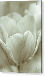 Tulip Acrylic Print by Frank Tschakert