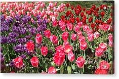 Tulip Garden 2 Acrylic Print