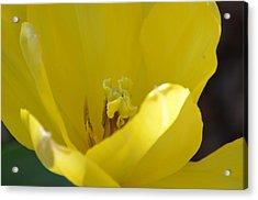 Tulip Heart Acrylic Print by Maria Urso