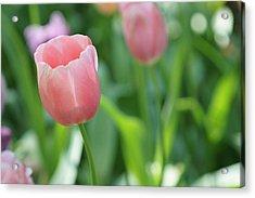 Acrylic Print featuring the photograph Tulip by Kathy Churchman