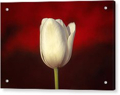 Tulip Acrylic Print by Marion Johnson