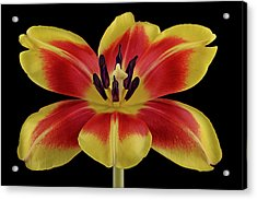 Tulip Acrylic Print by Mark Johnson