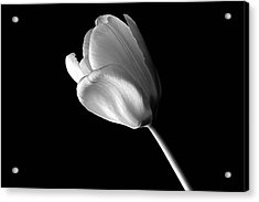 Tulip Acrylic Print by Marwan Khoury