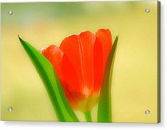 Tulip  Acrylic Print by Menachem Ganon