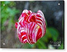 Tulip Acrylic Print by Nur Roy