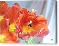 Tulip Profusion Acrylic Print