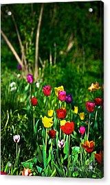 Tulip Rainbow Acrylic Print