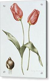 Tulip Red Darwin Acrylic Print by Sally Crosthwaite