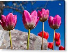 Tulip Revival Acrylic Print by Chad Dutson