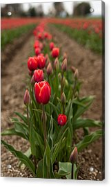Acrylic Print featuring the photograph Tulip Row by Erin Kohlenberg