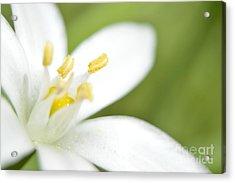 Tulip Shmulip Acrylic Print by Sheldon Blackwell