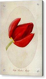 Tulip Tambour Maitre Acrylic Print by John Edwards