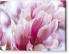 Tulip Tree Blooms Acrylic Print