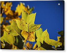 Acrylic Print featuring the photograph Tulip Tree In Autumn by Phil Abrams