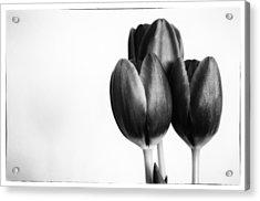 Tulip Trio Acrylic Print by Shelly Gunderson