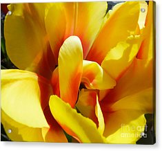 Acrylic Print featuring the photograph Tulip Unfolding by Kristen Fox