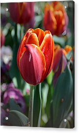 Tulip With A Twist Acrylic Print