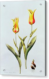 Tulipa Mona Lisa Acrylic Print by Sally Crosthwaite
