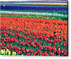 Tulipomania Acrylic Print by Benjamin Yeager