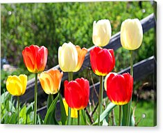 Tulips Aglow Acrylic Print by James Hammen