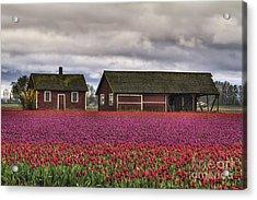 Tulips And Barns Acrylic Print