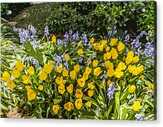 Tulips And Bluebells Acrylic Print by Gary Cowling