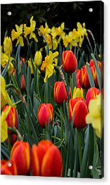Tulips And Daffodils Acrylic Print