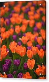 Tulips At Clevelands Botanical Gardens Acrylic Print