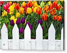 Tulips Behind White Fence Acrylic Print by Elena Elisseeva