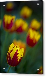 Tulips Acrylic Print by Chevy Fleet