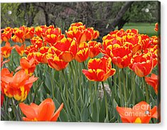 Acrylic Print featuring the photograph Tulips From Brooklyn by John Telfer