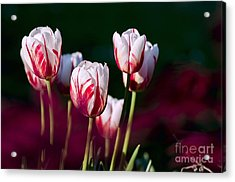 Acrylic Print featuring the photograph Tulips Garden Flowers Color Spring Nature by Paul Fearn