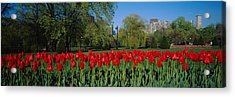 Tulips In A Garden, Boston Public Acrylic Print by Panoramic Images