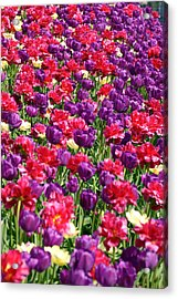Tulips In A Meadow Acrylic Print