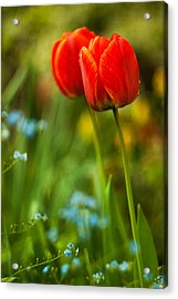 Tulips In Garden Acrylic Print