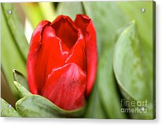 Acrylic Print featuring the photograph Tulips In Study 4 by Cathy Dee Janes