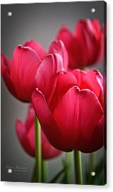 Tulips In The  Morning Light Acrylic Print by Mary Machare