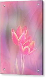 Tulips In The Pink Acrylic Print